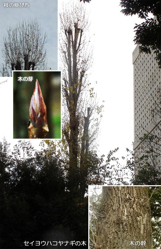 ケヤキの樹形 セイヨウハコヤナギの樹形 アオキの樹形 カクレミノの樹形 クスノキの樹形 サワラの